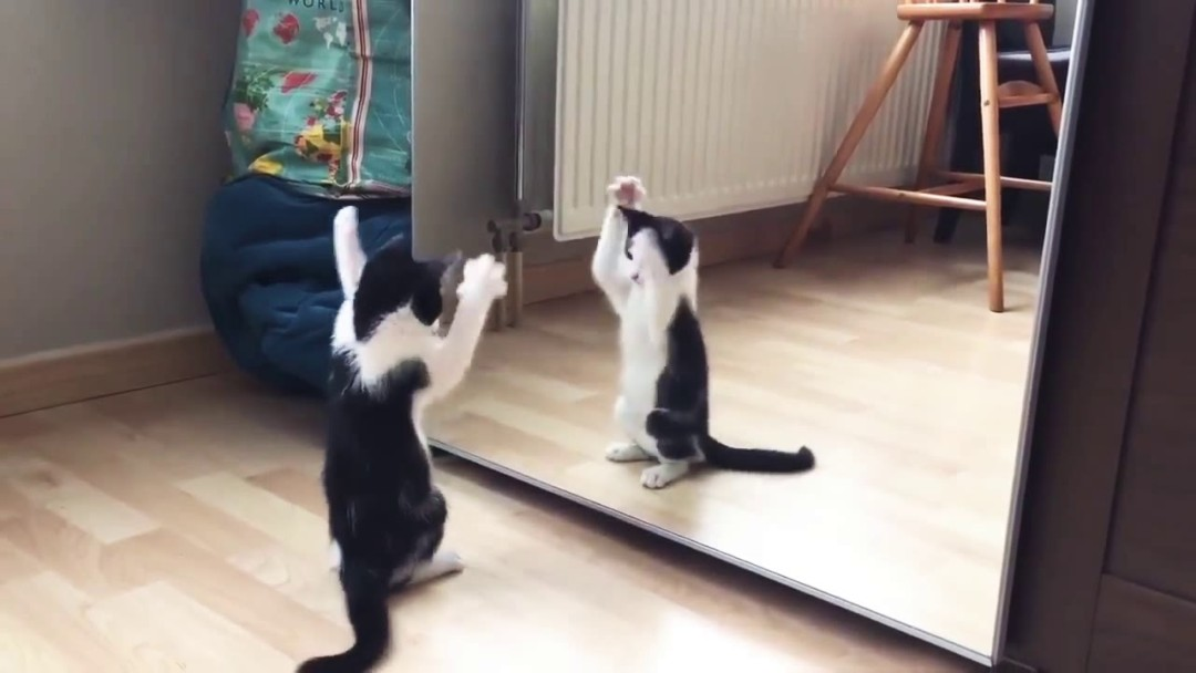 Funny Cat And mirror Video