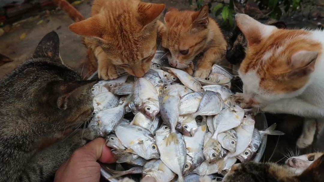 Cats eating raw fish - Kittens eating fish | Feeding Cats
